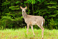 Western White Tailed Deer