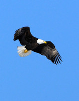 Adult Bald Eagles...aggression and bullying