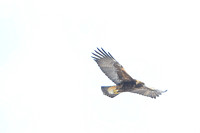 The Golden Eagle ....Hunting and Flight....2