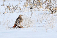 Winter Redtail: Groundhog Kill