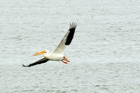 American White Pelicans: preening and flight shots