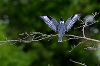 Belted Kingfisher: Display