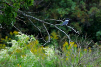 Belted Kingfisher....Fishing & Flight
