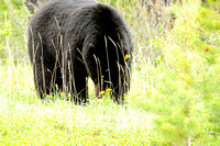 Black Bear, Nordegg, Alta.