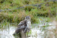 Juvenile Red-Tailed Hawk Bathing
