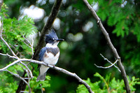 Belted Kingfisher: Display 2